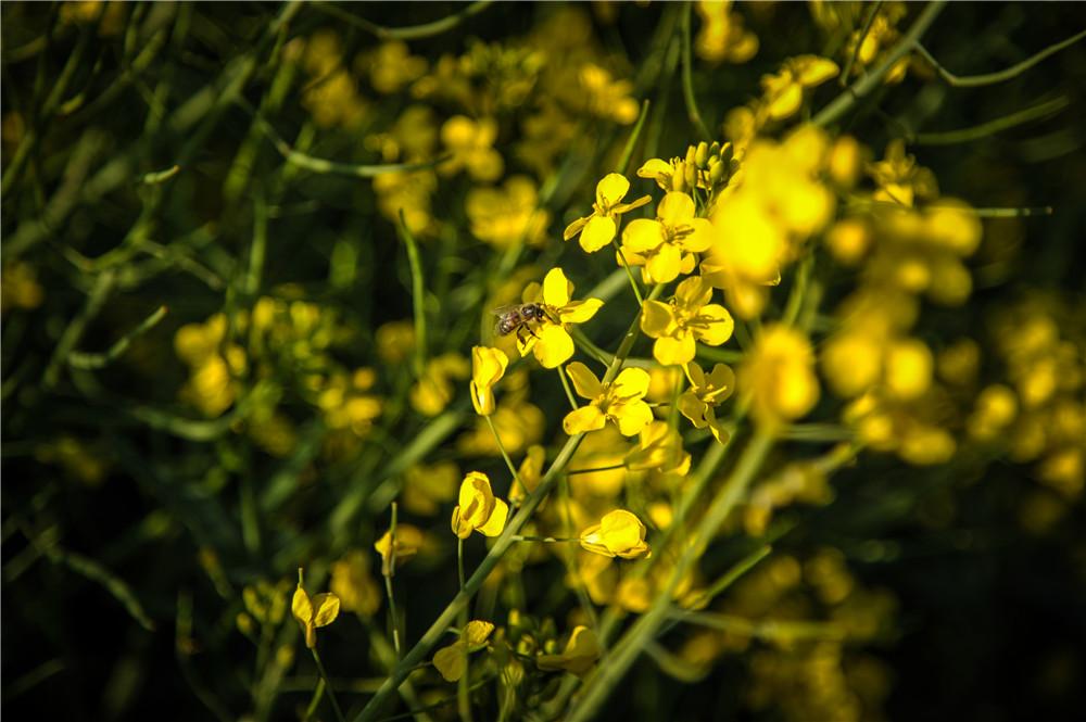 春季油菜花旅游