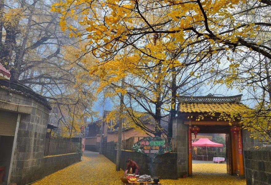腾冲银杏村最佳旅游时间到了