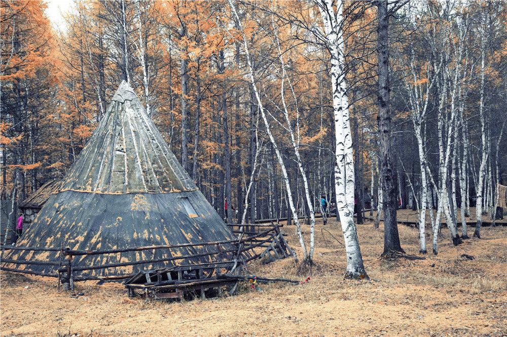 额尔古纳白桦林