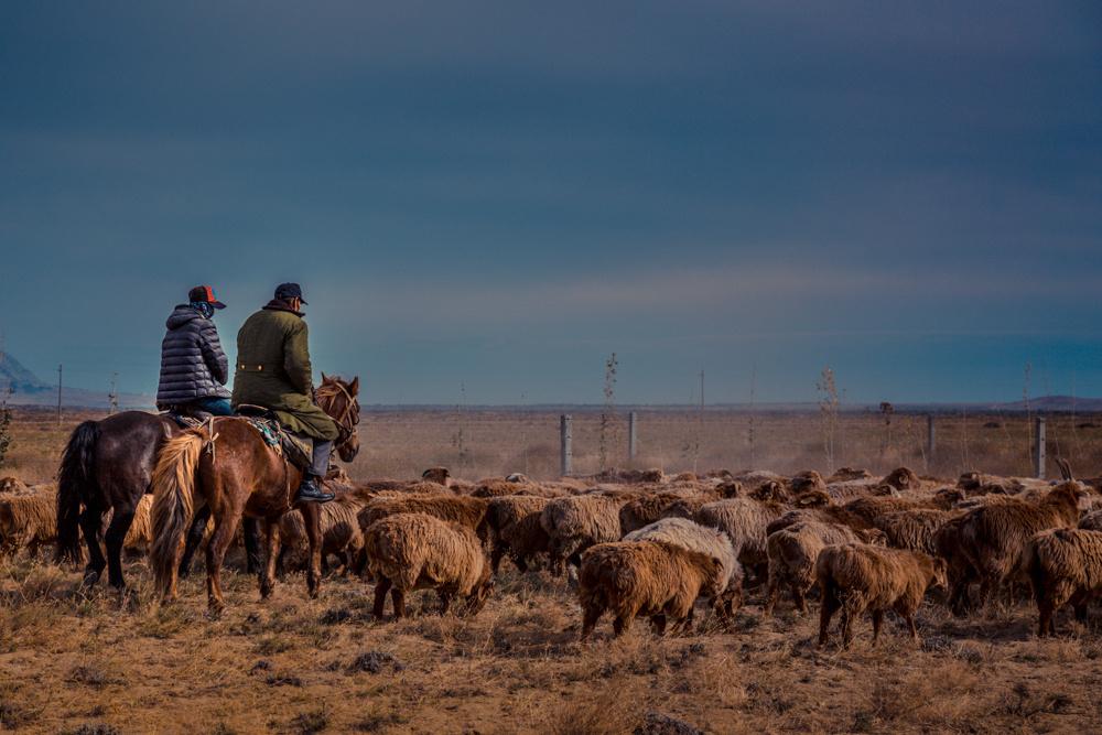 北疆牛羊转场