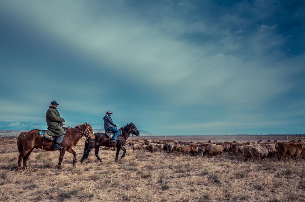 秋季北疆牛羊转场